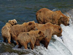 Grizzly Bears Love Salmon Too